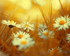 sunset in a daisy field