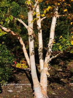 Betula ermanii 'Grayswood Hill' (Ermans Birch) - One of the loveliest of all birch trees, Betula ermanii 'Grayswood Hill' has fantastic peeling, creamy-white bark and chestnut coloured, elongated lenticels . The small heart-shaped leaves are pale green and turn exciting shades of butter yellow in autumn before falling.