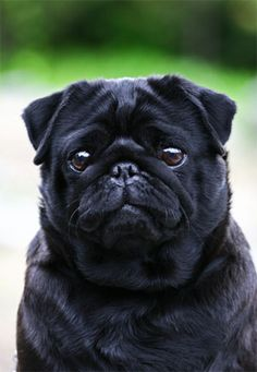 Adorable! I love pugs.