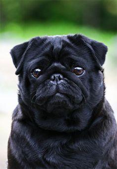 Adorable! I love pugs.