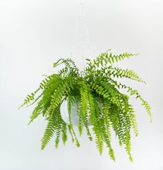 Ferns like this Boston fern love humidity. Most homes are rather dry, so make sure you spritz this plant with water regularly, otherwise the tips will dry out and turn brown.