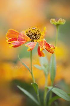 ~~Autumn Helenium by Jacky Parker~~
