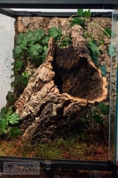 Terrarium Poecilotheria miranda Reptile House, Reptile Habitat, Reptile Room, Reptile Cage, Bartagamen Terrarium, Tree Frog Terrarium, Terrarium Reptile, Tarantula Habitat, Tarantula Enclosure