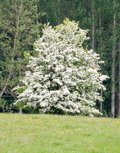 Hawthorn trees are a delight to have in the landscape because of their attractive shape, shade potential, and clusters of pink or white flowers that bloom in spring. Get more information about them in this article.