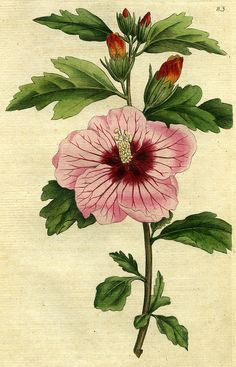 https://flic.kr/p/v2uRX6   Syrian hibiscus, hibiscus Syriacus or Althea frutex…