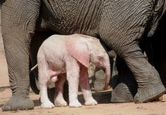 An albino elephant on Kapama Game Reserve in South Africa by Marilize Minnaar...lotsa mud for this little one...