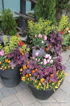 Zammit purple heuchera, orange violas, euphorbia and pink tulips. Container Flowers, Container Plants, Container Gardening, Garden S, Garden Planters, Ornamental Kale, Orange Plant, Fall Containers, Potato Vines