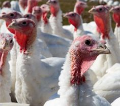 Think about the turkey this thanksgiving Wayne Pacelle of The Humane Society of the  United States