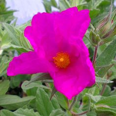 Buy Cistus x pulverulentus 'Sunset', Magenta rock rose, online plants for sale, at Urban Jungle plant nursery via mail order. Evergreen Shrubs, Trees And Shrubs, Shrubs For Sale, Magenta Flowers, Rock Rose, Park House, Plant Nursery, Plant Sale, Sage