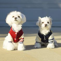 We are waiting for the school bus..... BarkBus hurry up! #arodwang #maltese #puppylove #doglover #whitedog #aplacetolovedogs #petlove #puppy #raisblack #wednesday #mydogiscutest #school #student #schoolbus #varsity #varsityjacket
