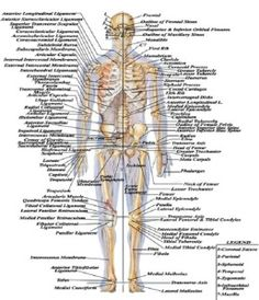 humans body structure images | human body | pinterest | human body, Human Body