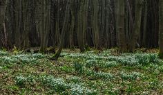 Snowdrops, Yellowcraigs, East Lothian.
