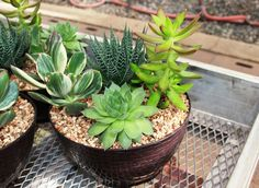 Succulent Buffet: A feast for all occasions. #garden #happy #easy