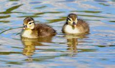 Ducklings in Silver Lake