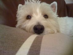 Want a westie!