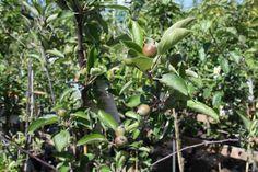 Fruitbomen met vruch
