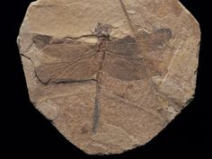 Dragonfly fossil discovered at Sihetun, China, in the same 120 million year-old volcanic sediments that Sinosauropteryx was found. Minerals And Gemstones, Rocks And Minerals, Cool Rocks, Prehistoric Animals, Ammonite, Ancient Artifacts, Science And Nature, Archaeology, Art Prints