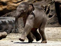 Tukta at Taronga running in her enclosure as a newborn. her little face ... ! :-)