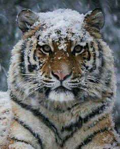 """Tiger """"My favorite animal Photography by Diego Cevallos Martinez Wildgeography"""" Beautiful Cats, Animals Beautiful, Big Cats, Cats And Kittens, Animals And Pets, Cute Animals, Wild Animals, Animals Photos, Animals In Snow"""