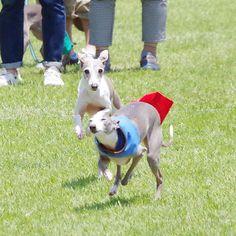 WEBSTA @ mint20060417 - 海おさ30メートル走..私的にはこっちがツボのjayくん..#itariangrayhound #イタリアングレーハウンド #イタグレ#海おさ #umiosa #足柄coco #犬 #dog #わんこ #ワンズ #愛犬 #instadog #iggy