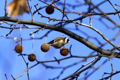 A téli időszakban a tengelicek egyik fontos természetes tápláléka a településeken gyakori platán termése (Fotó: Orbán Zoltán).