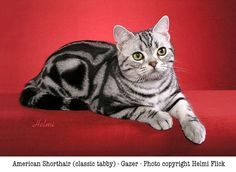 American Shorthair | Best Pictures of Cats and More