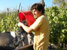 Grapes Harvest in Piedmont www.tacchinovino.it