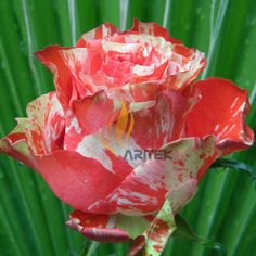 striped roses bushes | ... pack-400-seeds-pack-ORANGE-INTUITION-ROSE-ROSE-BUSH-STRIPED-A00024.jpg