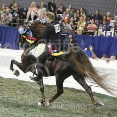 Honeybadger!!! Jr 5gaited world champ!! LOVE THIS HORSE!!!!!