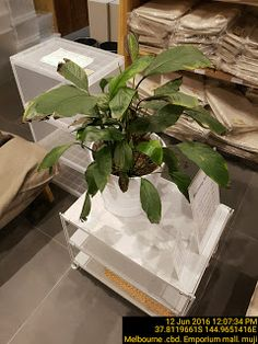 Dying plant is bad for business at MUJI   Melbourne Pend-Management-Action Plants Retail