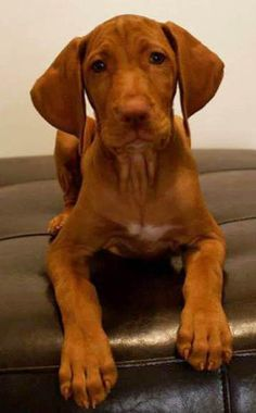 Dexter the Vizsla  - beautiful Vizla puppy!