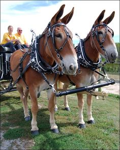 Tim and Terry, members of the Missouri Mule Team, can be seen ...