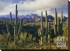 Saguaro cacti and Santa Catalina Mountains, Arizona Stretched Canvas Print by Tim Fitzharris at Art.com