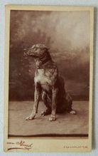 Cartes-De-Visites Photograph Huge Brindle Dog