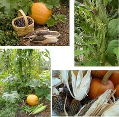 """Third grade- Native American """"Three Sisters"""" Garden planted with corn, squash, and beans."""