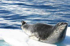 The most fearsome seal in Antarctica and with the exception of Orcas this  Leopard seal is pretty much at the top of Antarctic food chain.