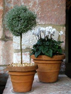 Cotton lavender (santolina) & cyclamen