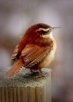 A little puff ball - One of my favorite S. Texas birds. #littlebirds