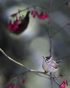 Beautiful Bird Photography 如如美學 / John  & Fish Gallery 台北市 大直 明水路672巷27號 No.27, Lane.672, Mingshui Road Taipei Taiwan  Taiwan Yuhina, taken at DaSyueShan Trail, Taichung County, TAIWAN