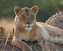 An fly-in East Africa safari takes you to some of Africa's best game-viewing areas and to see the Great Wildebeest Migration. Lions South Africa, East Africa, Wild Animals Photos, Animals Images, What Is A Lion, African Holidays, Pur Sang, Cute Lion, Animal Magic