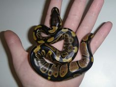 baby ball python | Baby Ball Pythons! (breeding, eggs, snakes, compared)