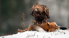 Eagle feeding on a fox