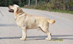 Labrador Köpek Irkı | Lab'R TeaM Turkey Labrador Retrievers, Labradors, Turkey, Dogs, Animals, Html, Labrador Retriever, Animales, Turkey Country