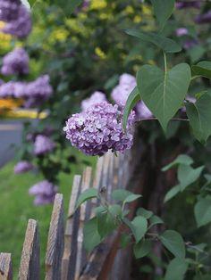 . Lilac Flowers, Colorful Flowers, Beautiful Gardens, Beautiful Flowers, Lentil Hummus, Syringa Vulgaris, Fruit Art, Flower Farm, Garden Statues