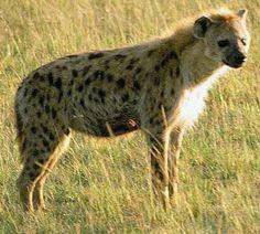 Sahara+Desert+Animals+and+Plants   Hyena Sahara Desert Animals Images