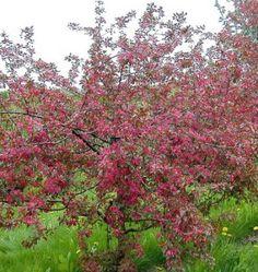 Malus Marjatta, Purppuraomenapuu 'Marjatta' – Malus Purpurea-ryhmä (purpurapel)