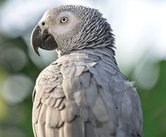 """No-Fly Zone, Page 2: """"A Tsunami of Unwanted, Disposable Parrots"""" : The Humane Society of the United States"""