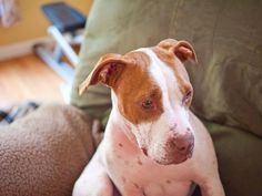 Lulu Bean was used for backyard breeding and was bald from mange and infections when animal control impounded her. Now, she's been adopted by a great family and is getting all the love she deserves. #PitBull #Adoption