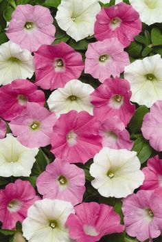 Shock Wave petunia is one of the earliest flowering in the wave series. This is for Shock Wave Buzz mix these are easy to grow from petunia seeds.