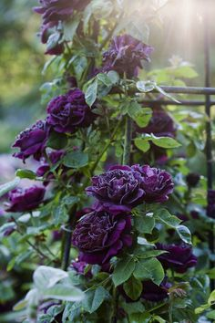 English Roses 9 Vibrant Climbing Roses to Add to Your Garden - Take the fragrance of your flower garden soaring to new heights when you plant these 9 varietals of climbing roses. Black Flowers, Pretty Flowers, Purple Flowers, Black Roses, Rare Flowers, Flowers Nature, Beautiful Roses, Exotic Flowers, Yellow Roses
